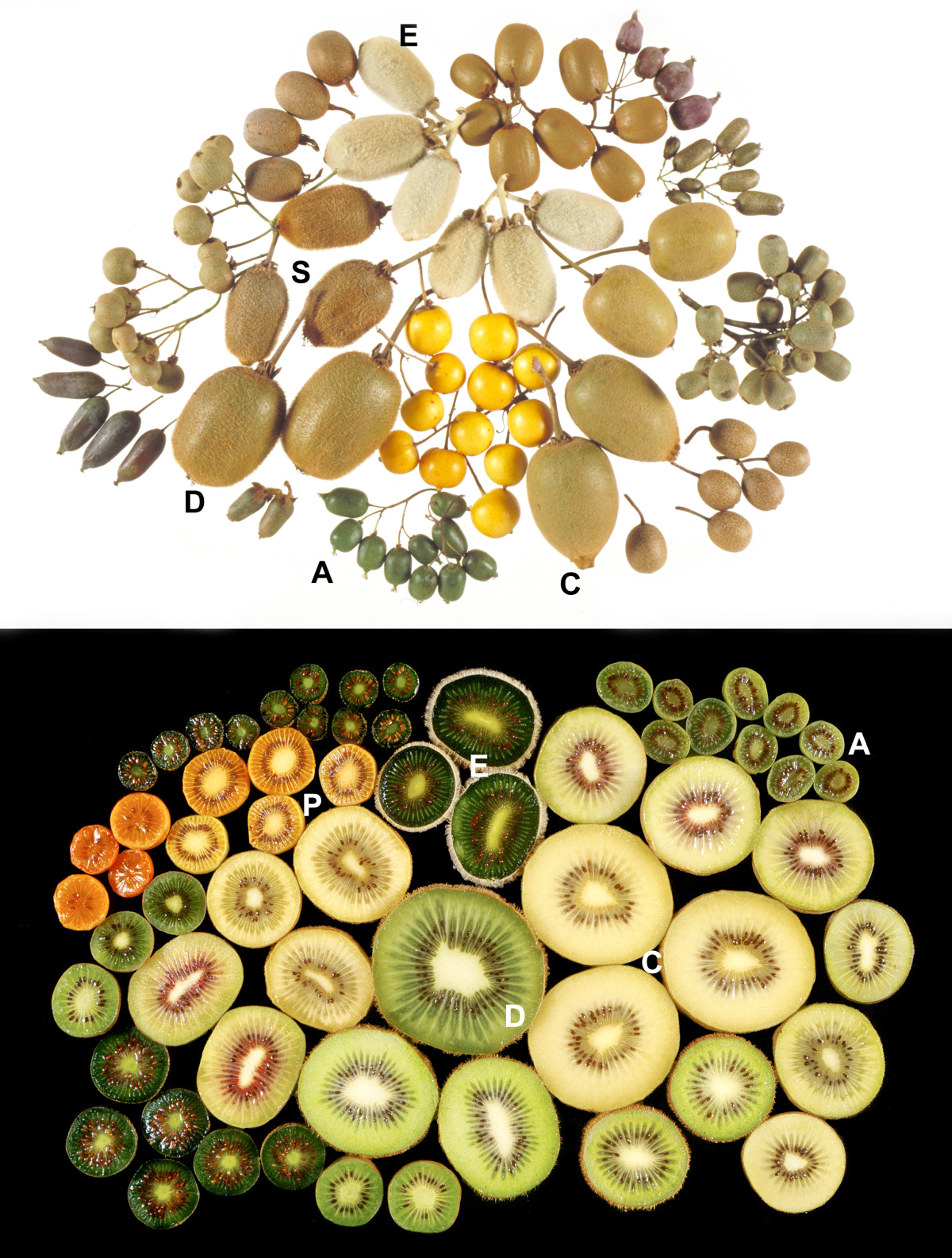 actinidia_fruits2.jpg