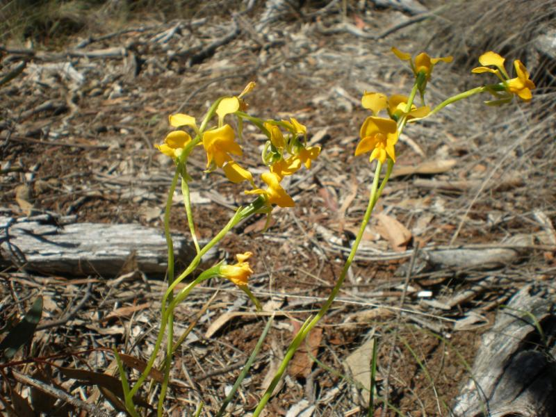Buttercup Doubletail orchid
