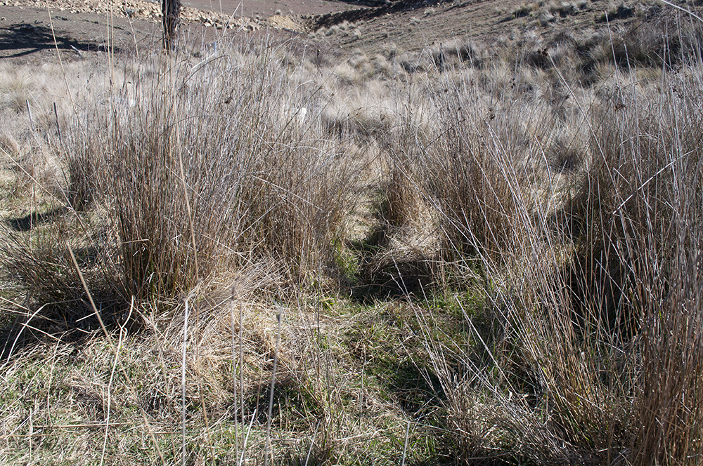 Summer grass species still growing despite winter frosts, thanks to localised micro-climate conditions and water retention in the landscape.