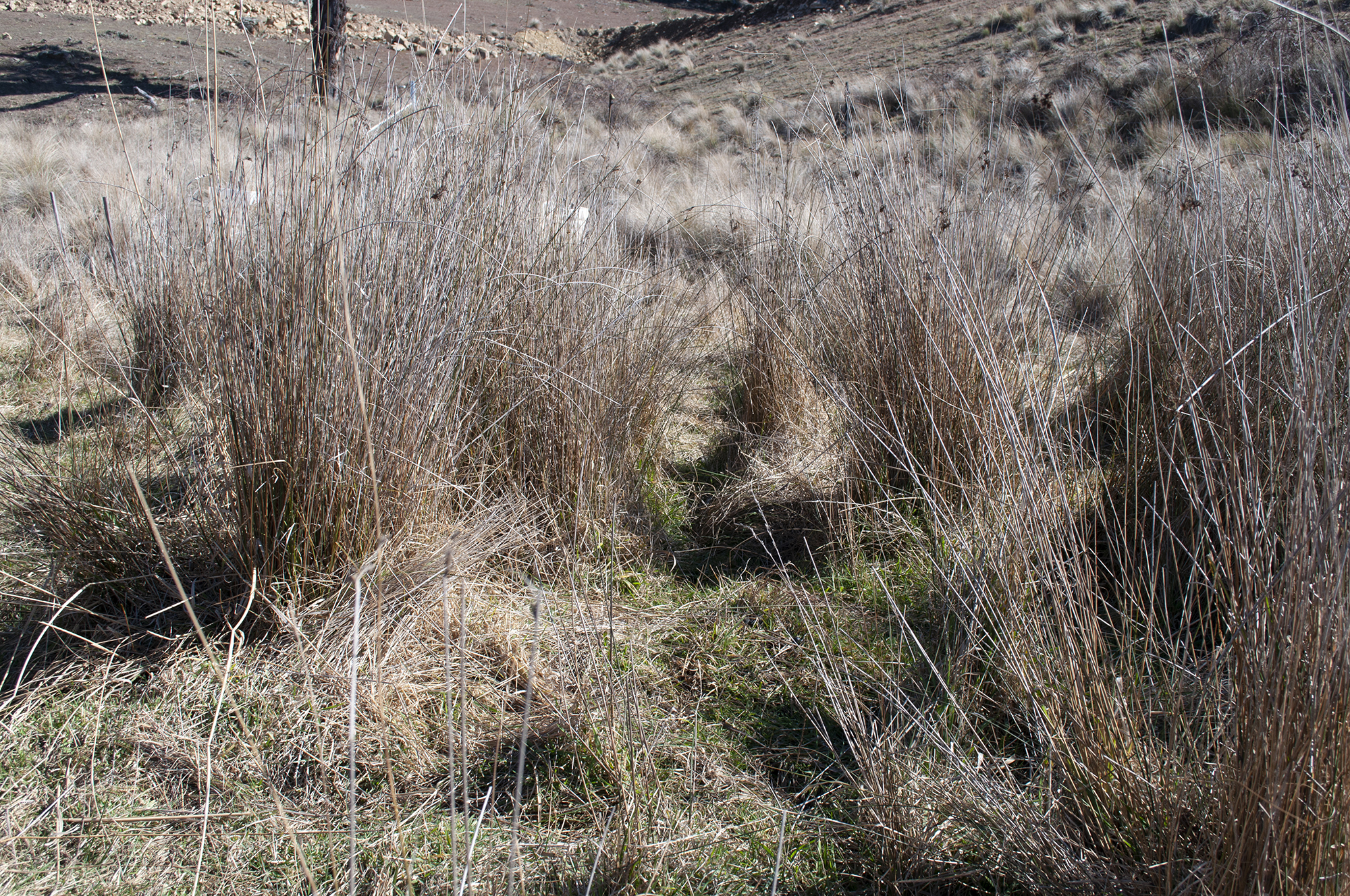 Summer grass species surviving winter thanks to localised micro-climate conditions and water retention in the landscape.