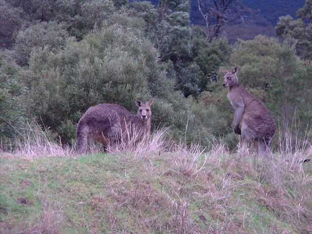 Breakfasting kangaroos, Halls Gap - the town with no punctuation