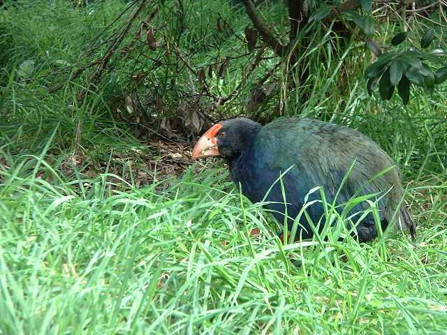 The cute, friendly, and extremely rare Takahe