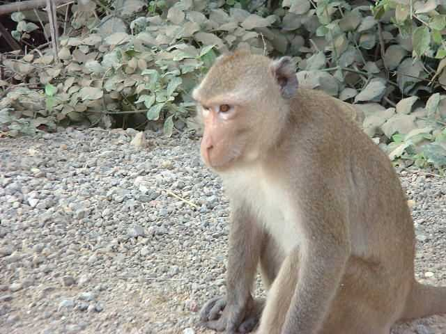 Crab-eating Macaque pretending not to be asking for food, Khao Sam Roi Yot