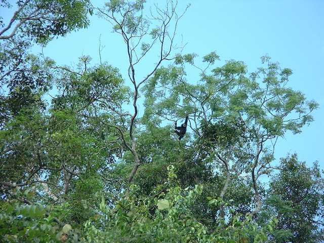 White-handed Gibbon, Khao Yai - if only you could hear him singing