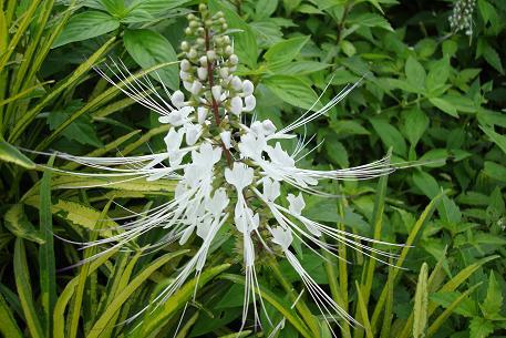 Orthosiphon aristatus 猫须草.  Photo  courtesy of natureloveyou.sg