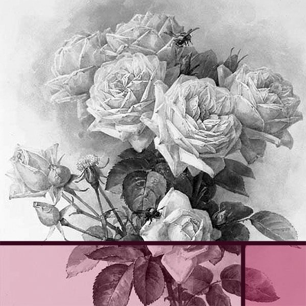 How To Draw Beautiful Roses For A Still Life