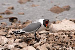 A sabine gull defending her nest.