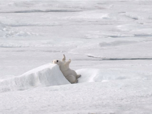 Polar bear on the sea ice.