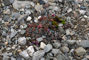 The northernmost purple saxifrage.