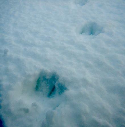 Arctic fox tracks on    Zhokhov Island   , East Siberian Sea.