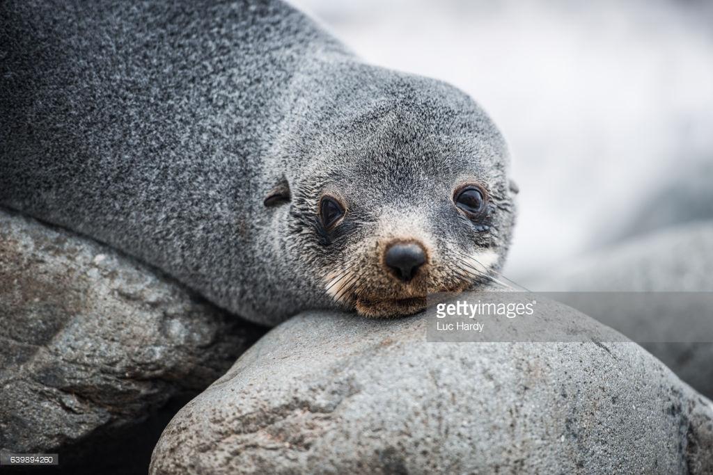 Antarctic Fur Seal-GETTY-639894260.jpg