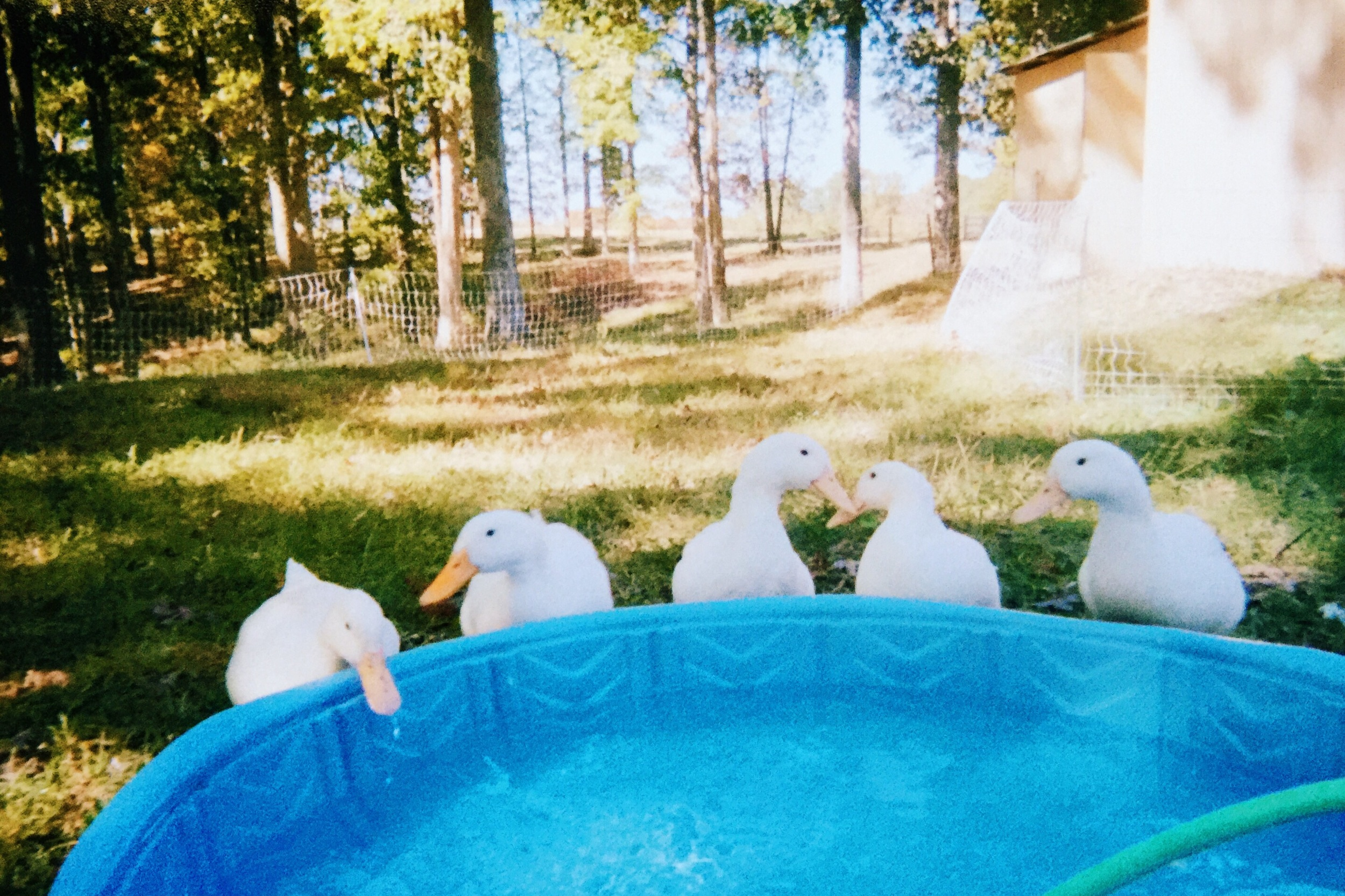 The ducks!! When I saw this photo, I fell in love all over again. This is how I remember them with their little kiddie pool.