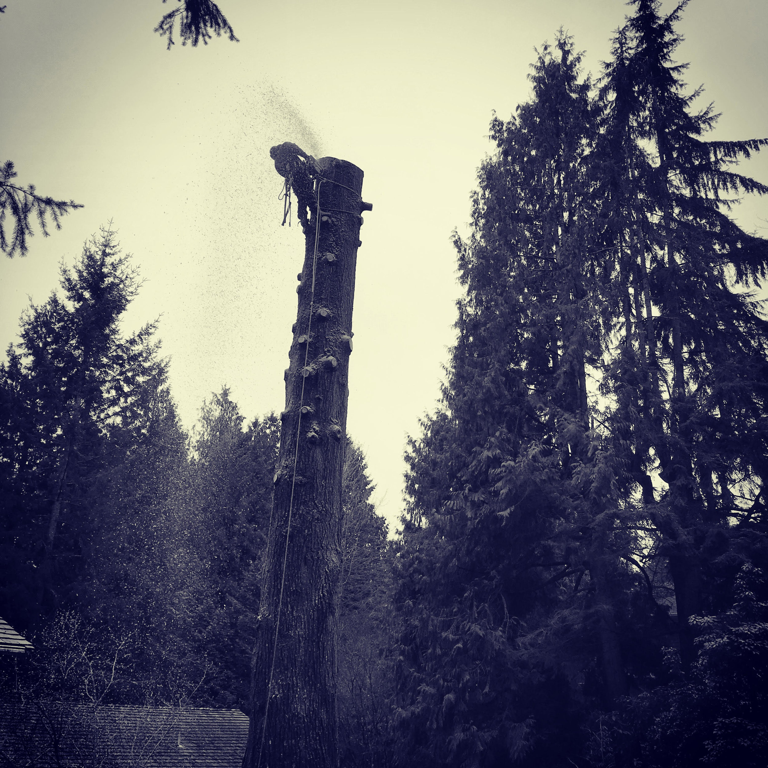 Removing a large declining Hemlock with extensive cavities in West Vancouver.