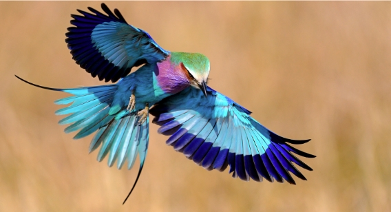 Photograph showing Lilac Breasted Roller in flight, a symphoney of color