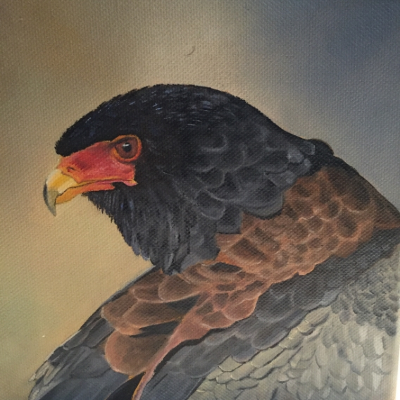 Bateleur eagle portrait...almost done