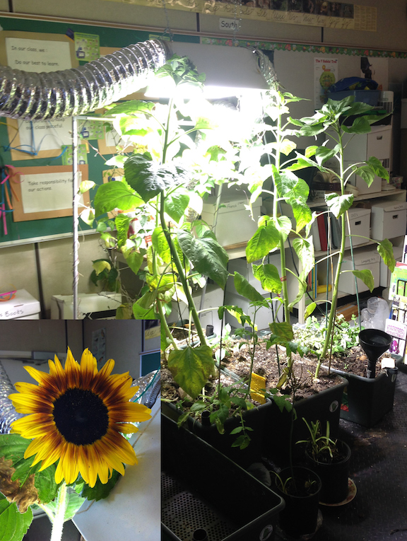 sunflowersWeinlos2.jpg