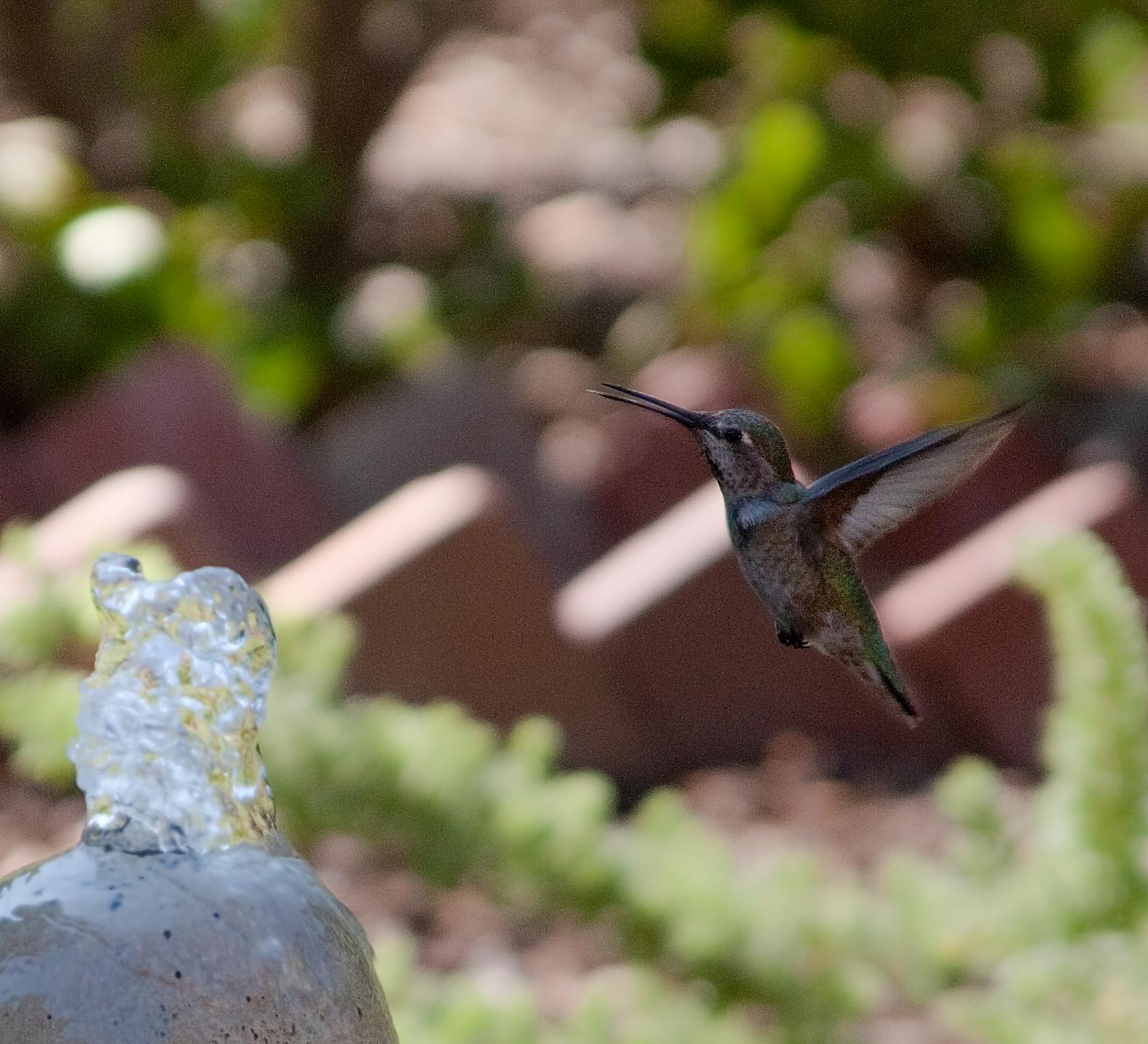 Carmel Valley Hummingbird