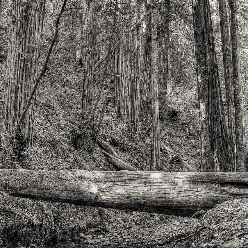 Muir Woods 44