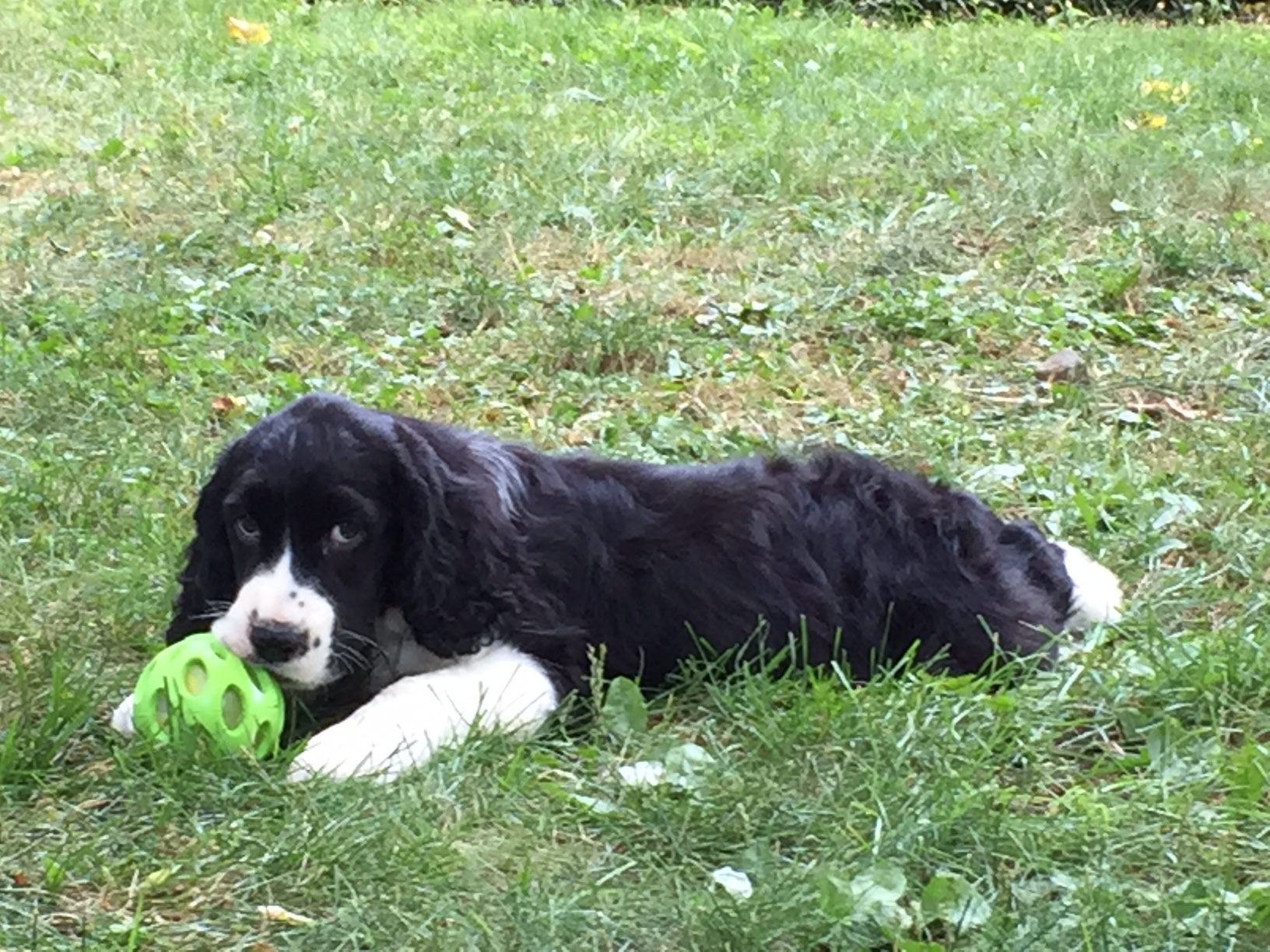 NYC grass company, NYC sod delivery, nyc sod deliveries, sod delivery, sod installation, grass installation, grass instal, lawn install, turf, astro turf, puppy on grass