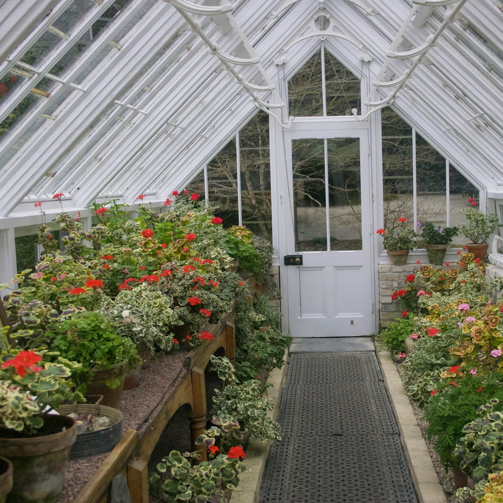 geraniums, greenhouse