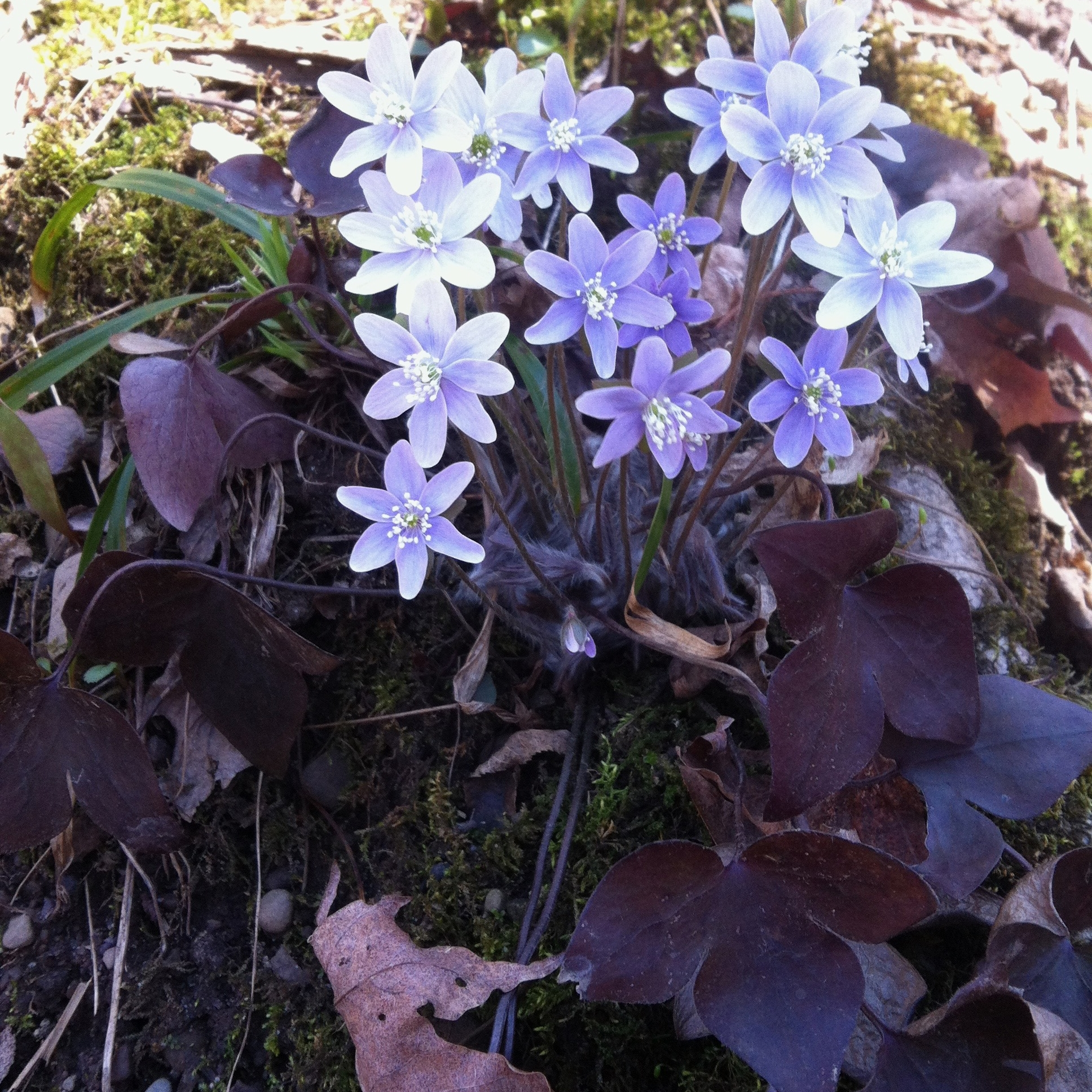 spring wildflower, hepatica