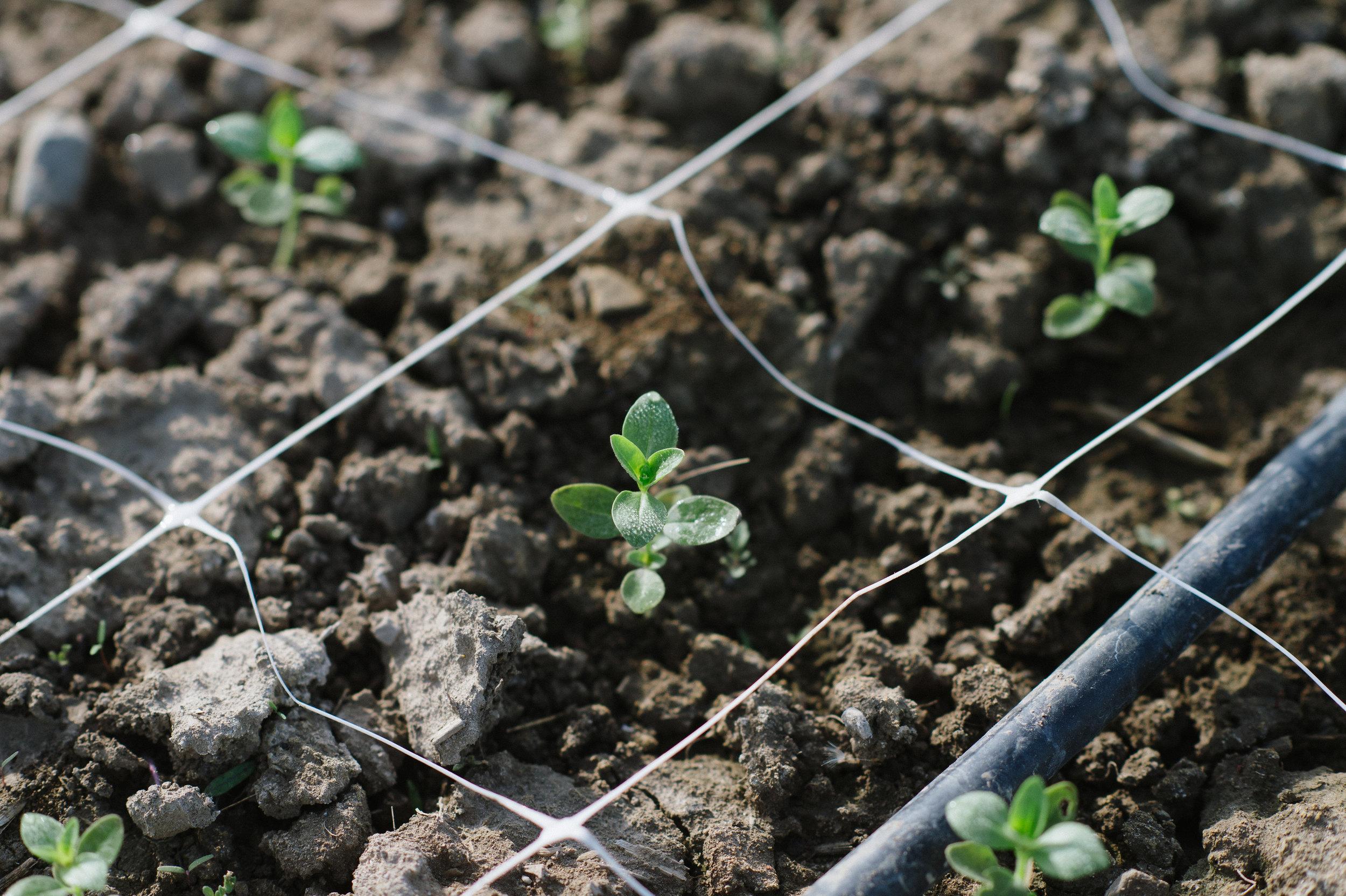 snapdragon seedling, flower farm