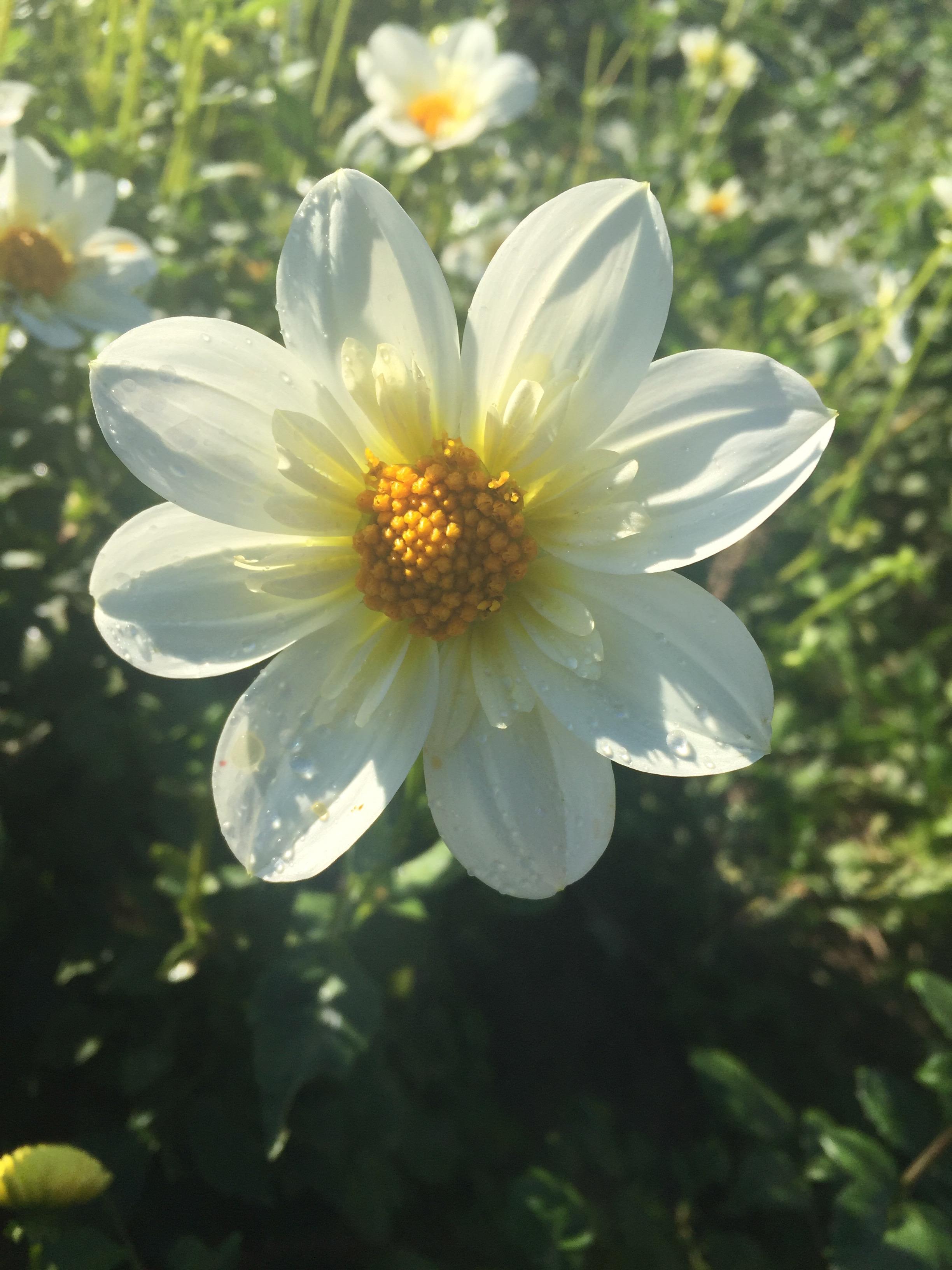 flower farm, ontario, dahlia