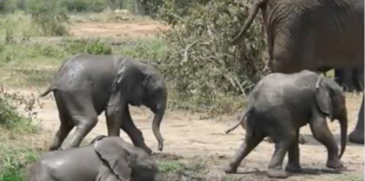 Schnell zu Muttern: Zwillings-Elefanten im Tarangire |  © Foto: WCS