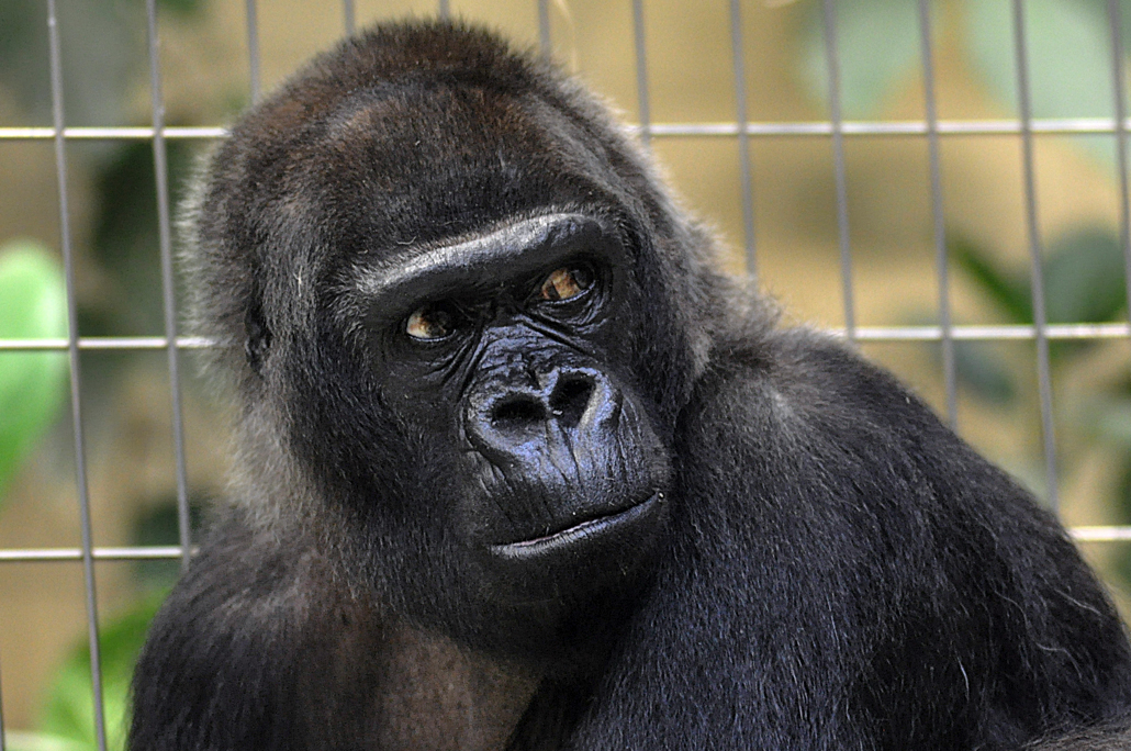 Goma im bereits hohen Alter von 50 Jahren