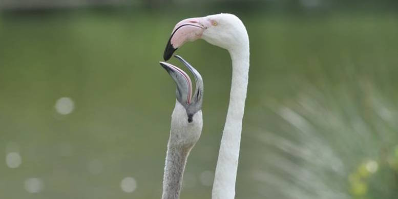 Junger Flamingo schnabelt nach Futter
