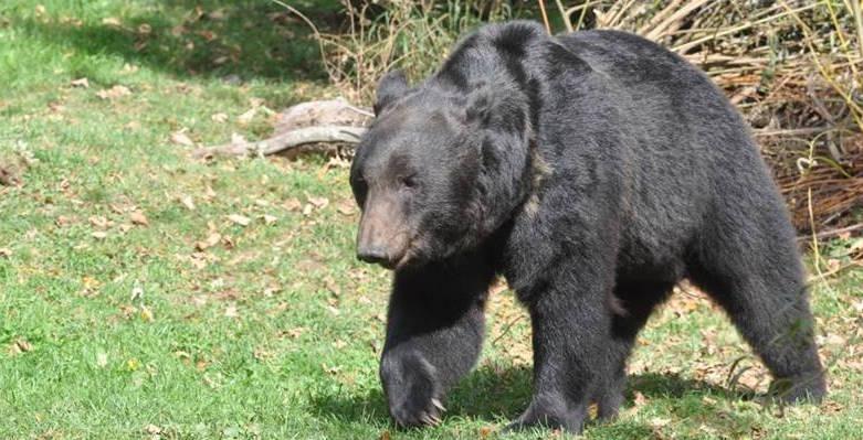 Ussurischer Bär aus Russland schlendert über die Berner Matte
