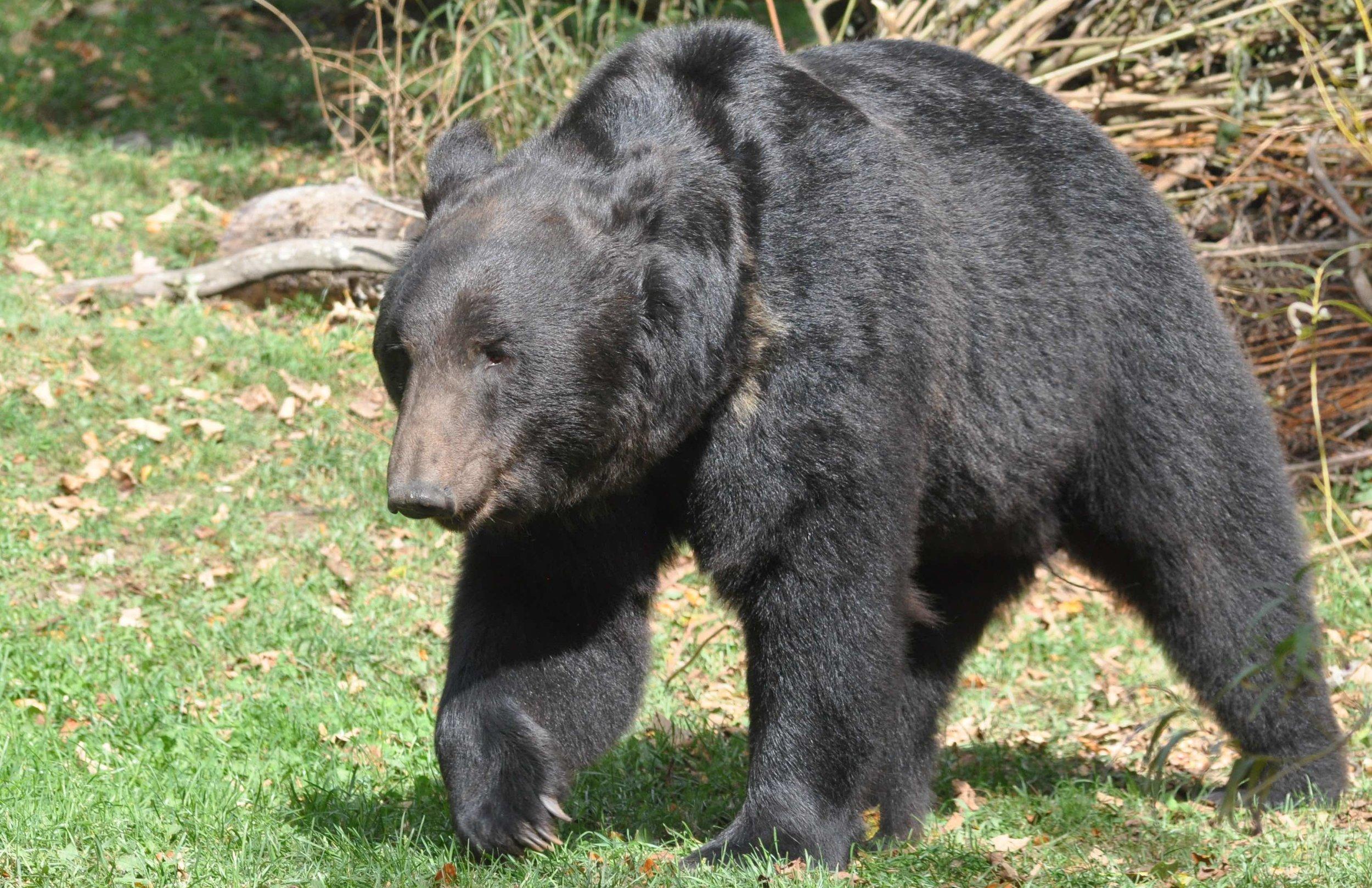 Praktisch chancenlos in der Schweiz: Wilde Bären. Tierpark Dählhölzli |  © Foto by Ruedi Suter