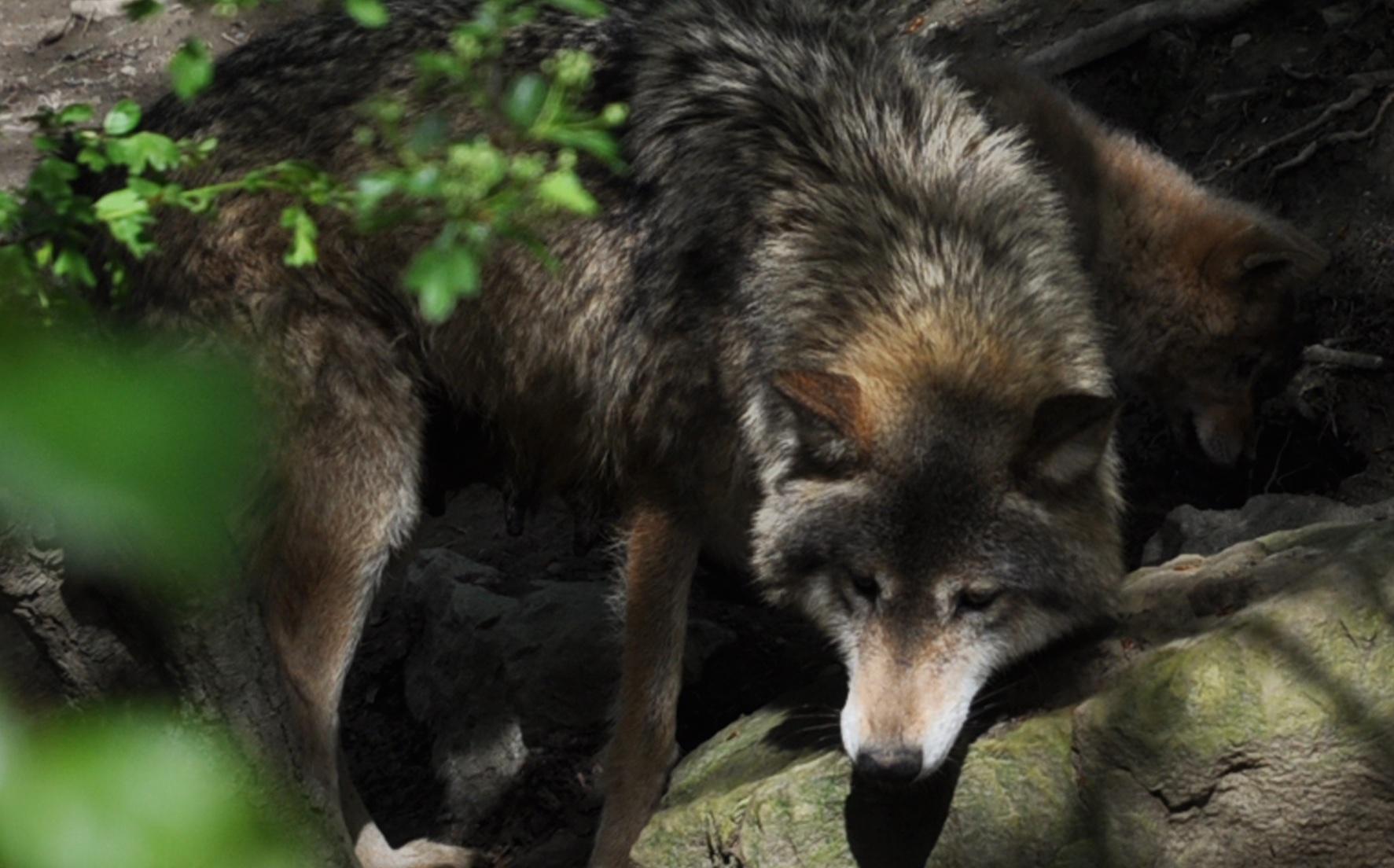 «Angstmacher» und «Schädling» Wolf, Zoo Zürich |  © Foto Ruedi Suter