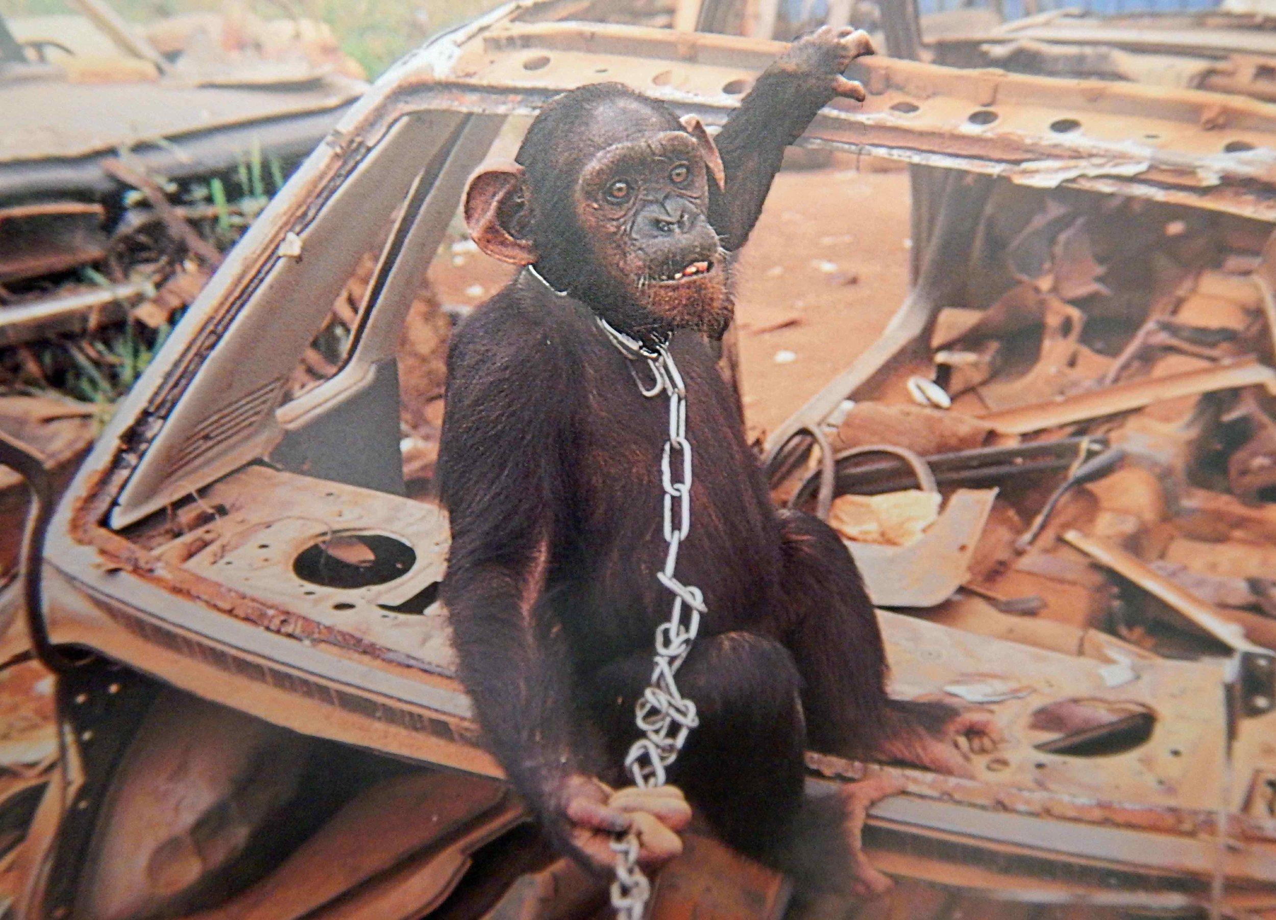 Gejagt, gefangen, geplagt und «geschützt»: Schimpanse im Autofriedhof |  © Foto by Karl Ammann