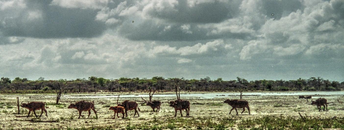 Bedrohtes Paradies: Büffel am Rufiji-Fluss |  © Foto by Helen Kimali Markwalder