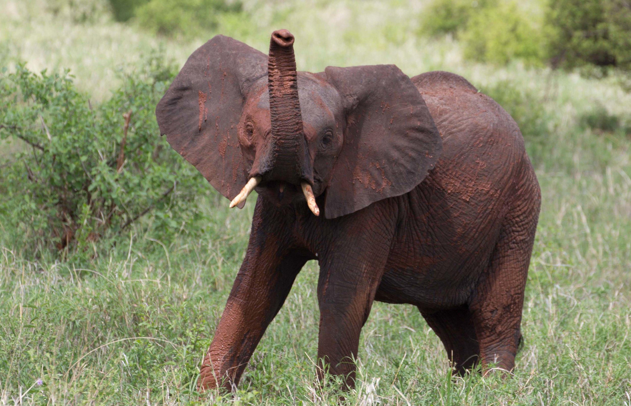 Elefantenpopulation erhollt sich: Jung-Elefant im Tarangire-Nationalpark, Tansania ¡  © Foto by Hans Trüb
