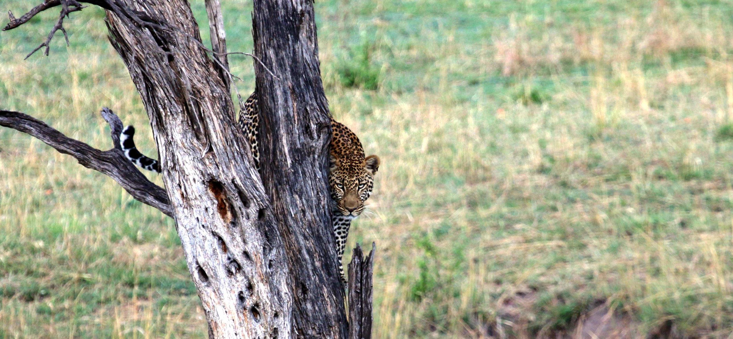 Leopard im Baum : Kann nur überleben, wenn er effizient geschützt wird |  © Foto KET