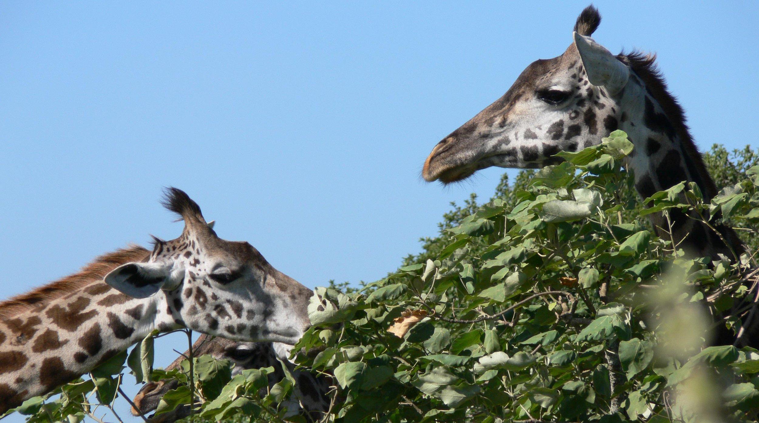 Massai-Giraffen : Futtern in den Baumwipfeln |  © Foto Ruedi Suter-FSS