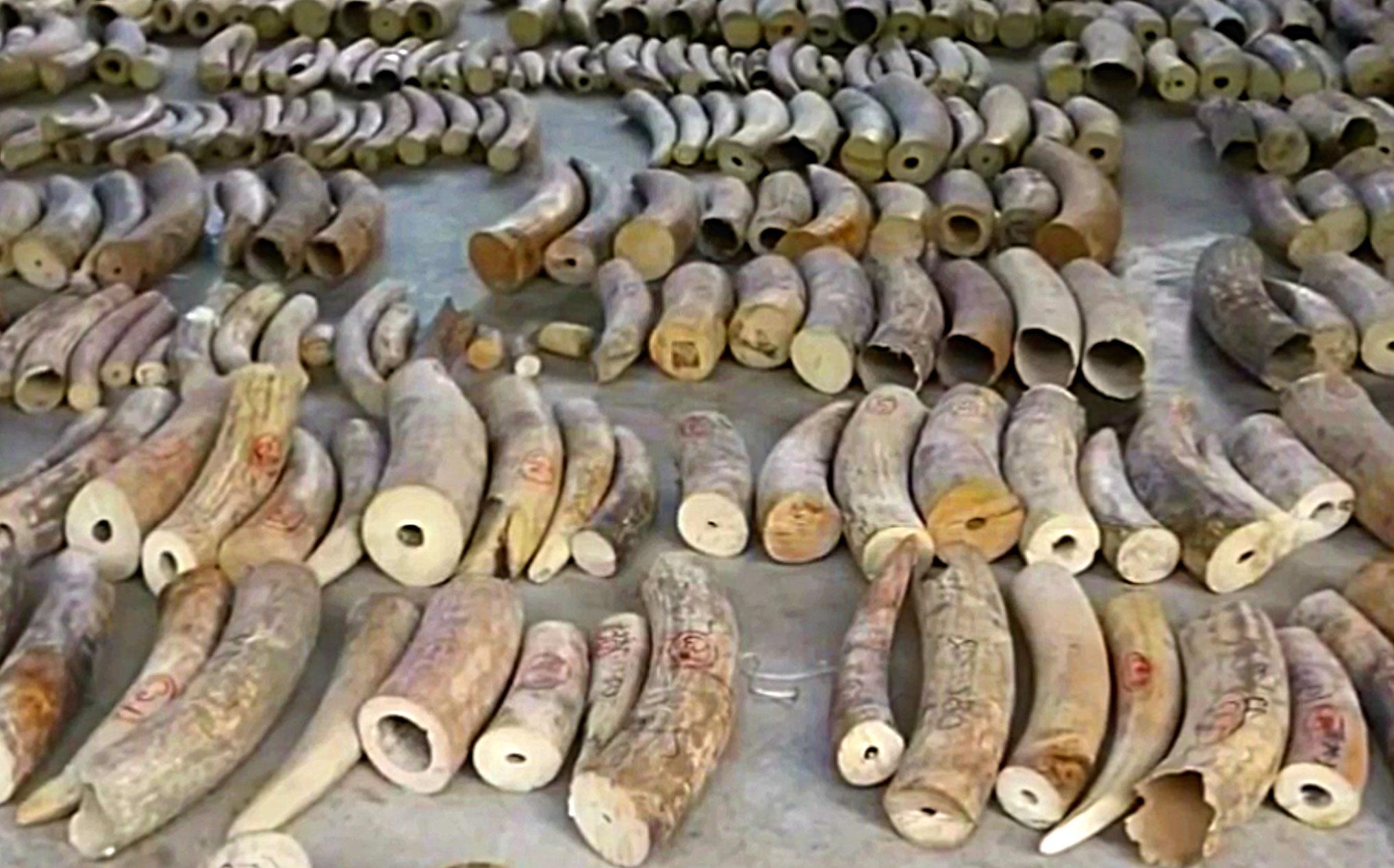 Beschlagnahmt: Elfenbein-Stosszähne in Singapur |  © Foto Zoll Singapur