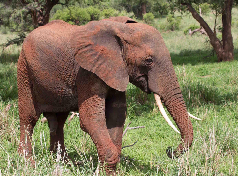 Nicht beschlagnahmt: So wie es sein soll, ein Elefant in der Wildnis, in Freiheit |  © Foto by Hans Trueb