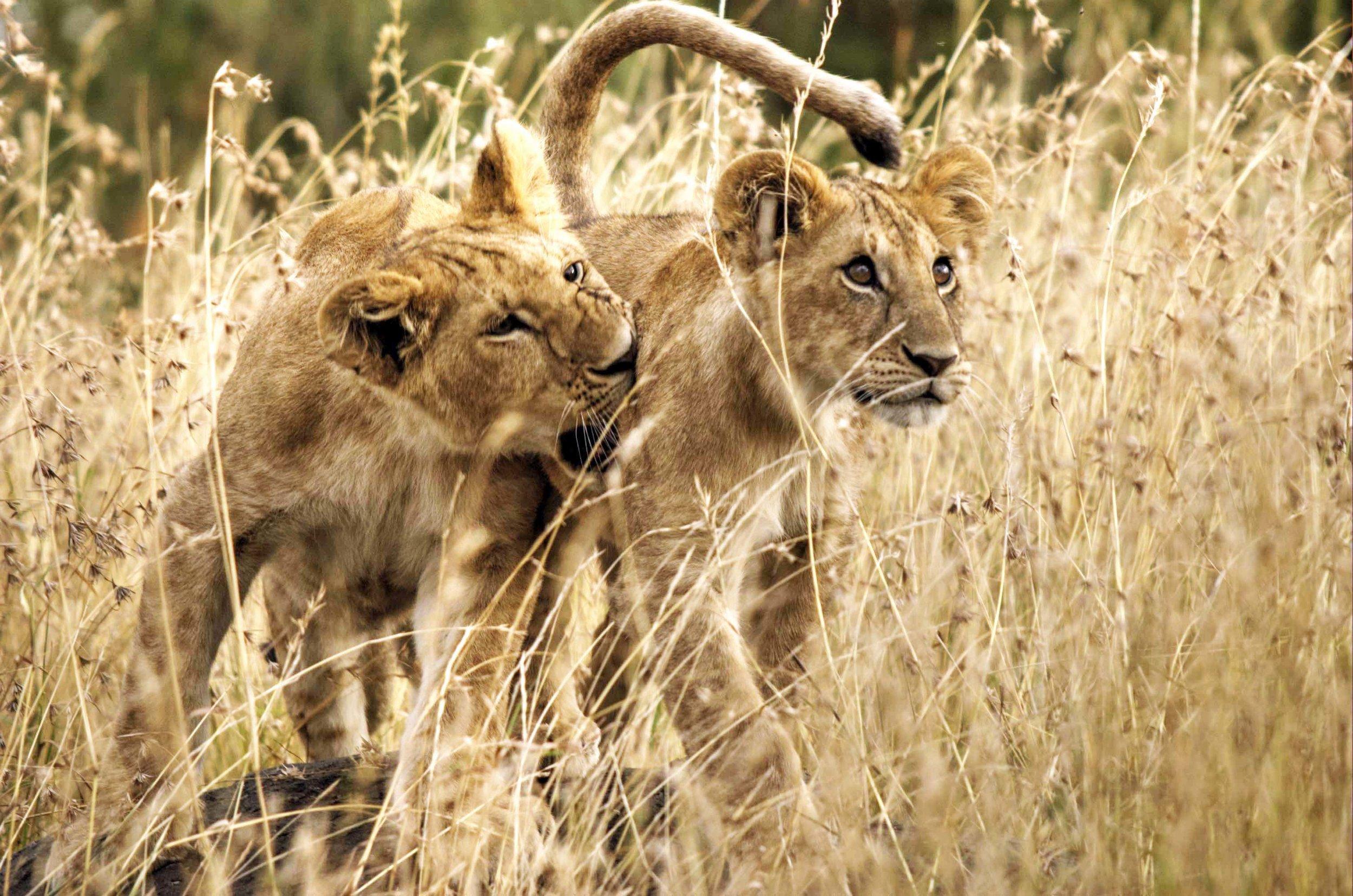 Verspielte Katzen:  Junglöwen in Tansanias Serengeti-Ökosystem |  © Foto by Gian Schachenmann