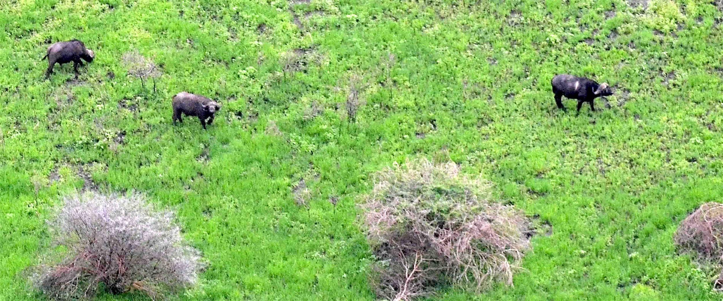 Dank Niederschlägen Grünfutter im Überfluss… Kaffernbüffel im Tarangire |  © Foto RS
