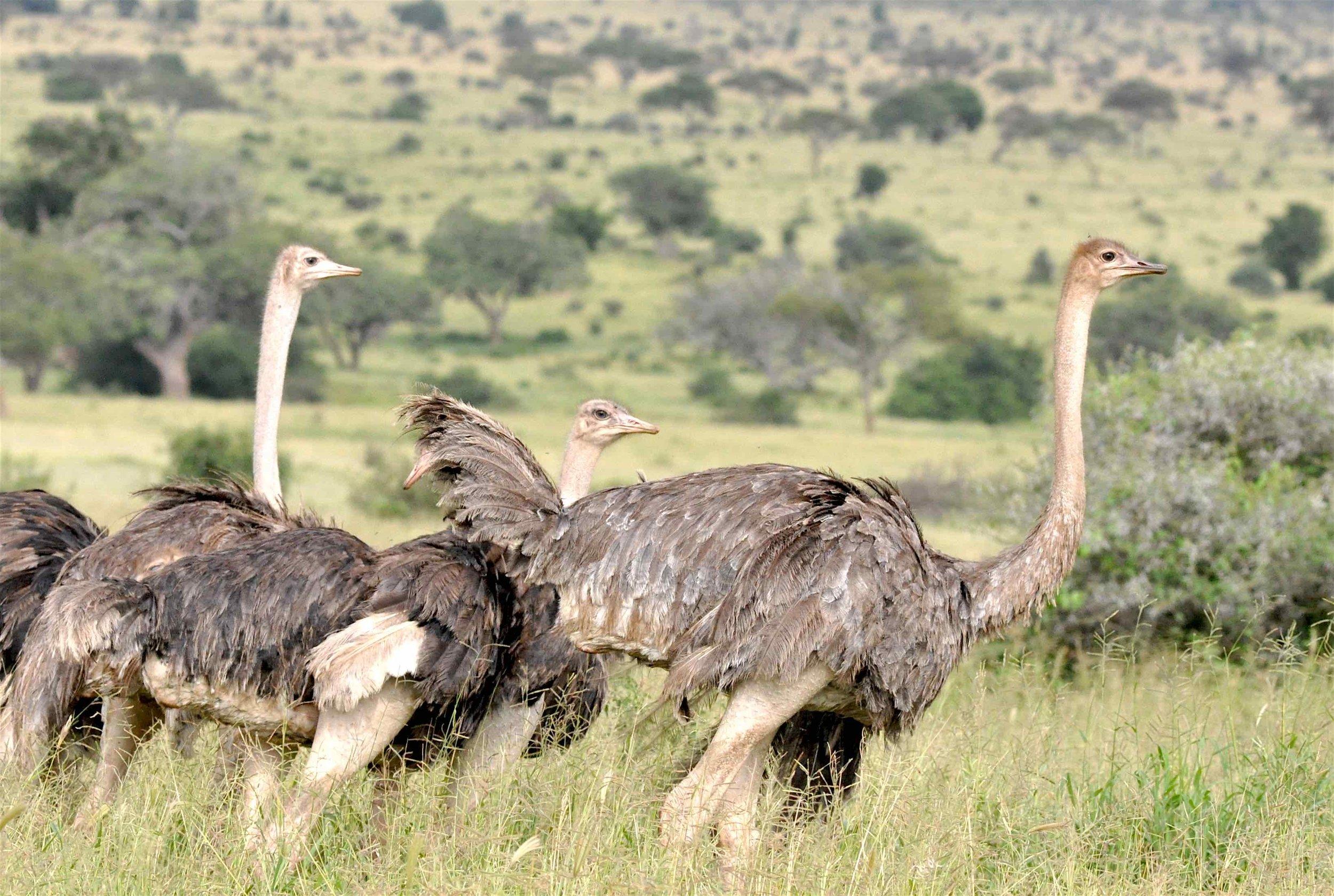 Strausse auf Augenhöhe : Tarangire-Nationalpark, weites Land mit vielen Wildtierarten |  © Foto RS