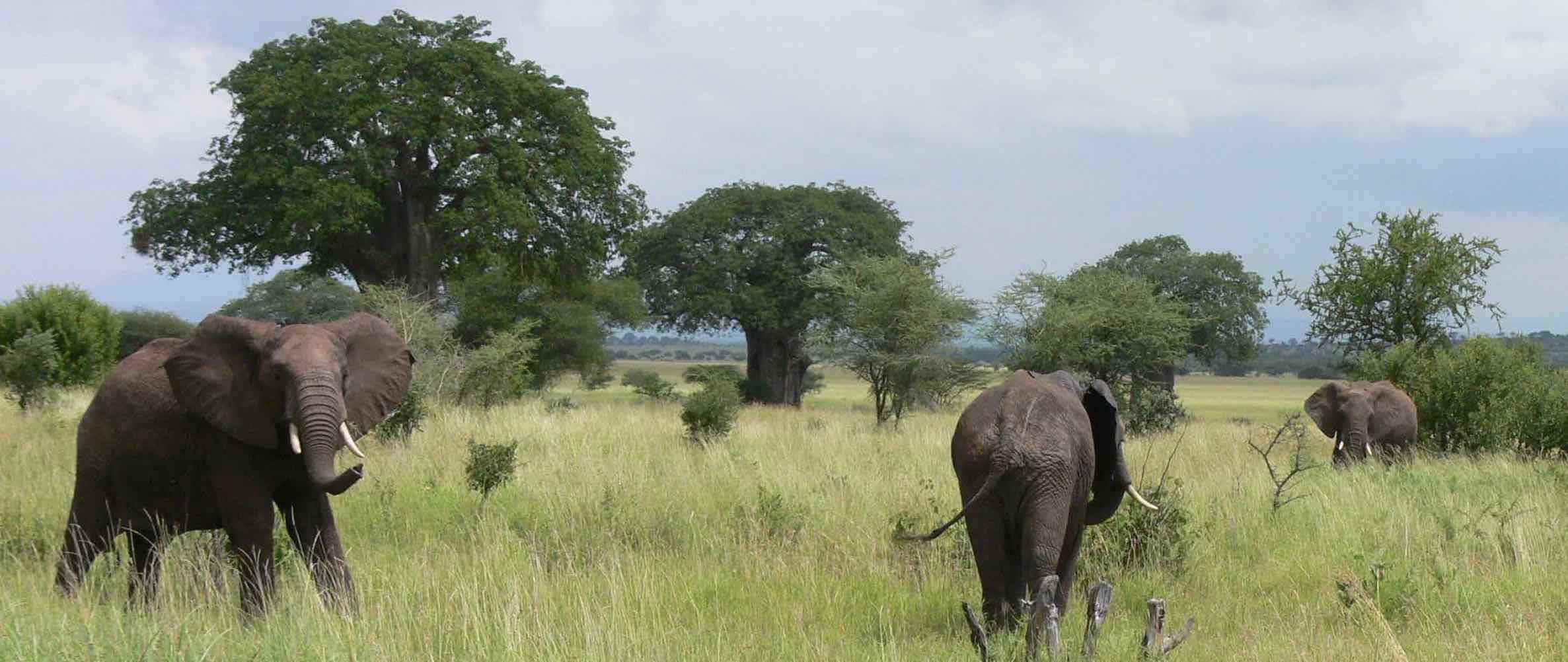 Tarangire, 2'850 Quadratkilometer we it: Letzte Zuflucht für Elefanten |  © Foto RS