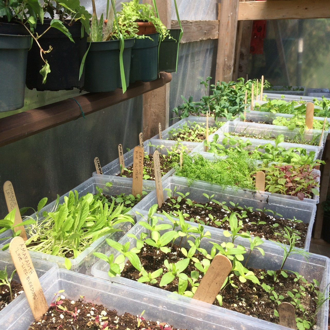 greenhouseseedilings.jpg
