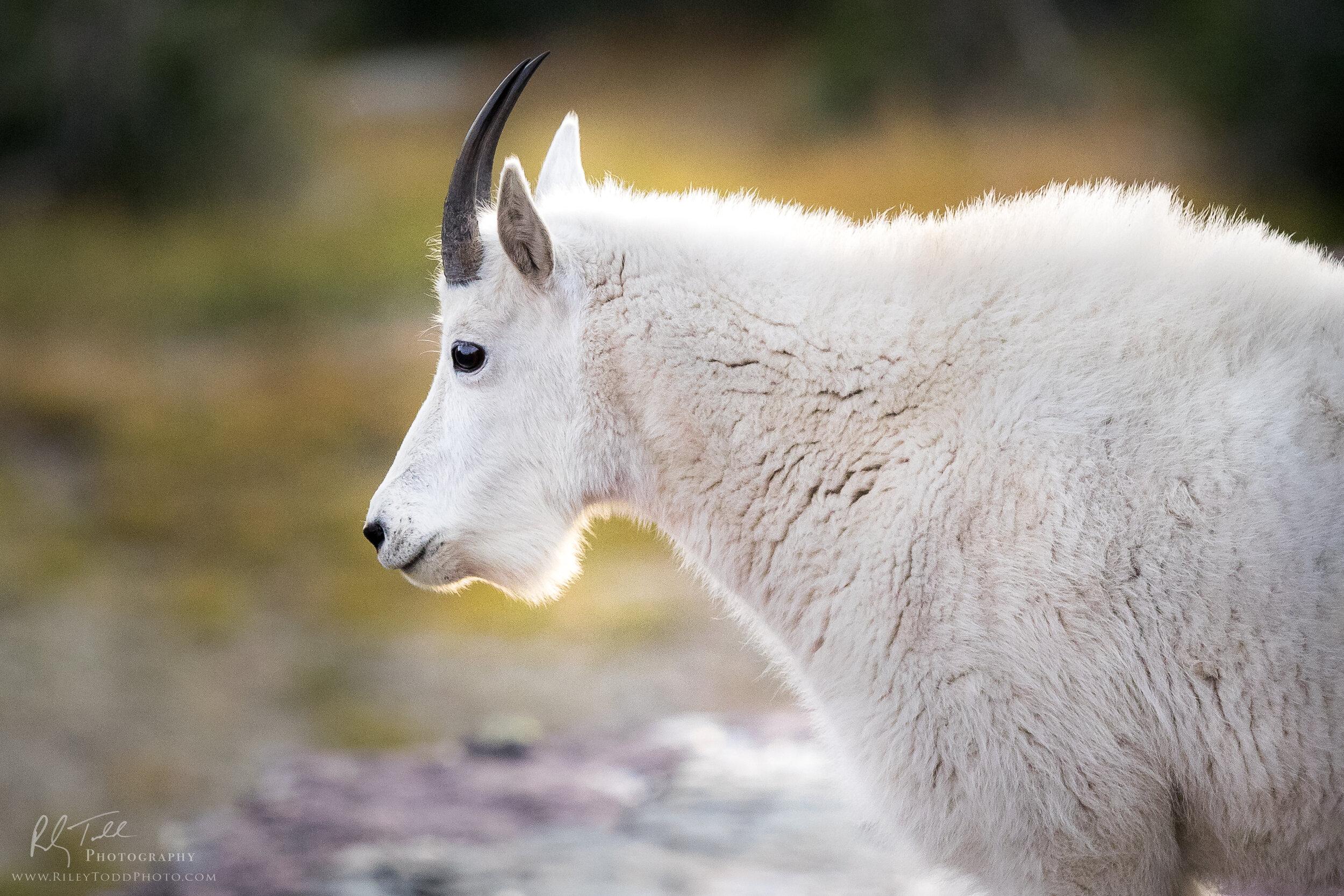Mountain Goat-1.jpg