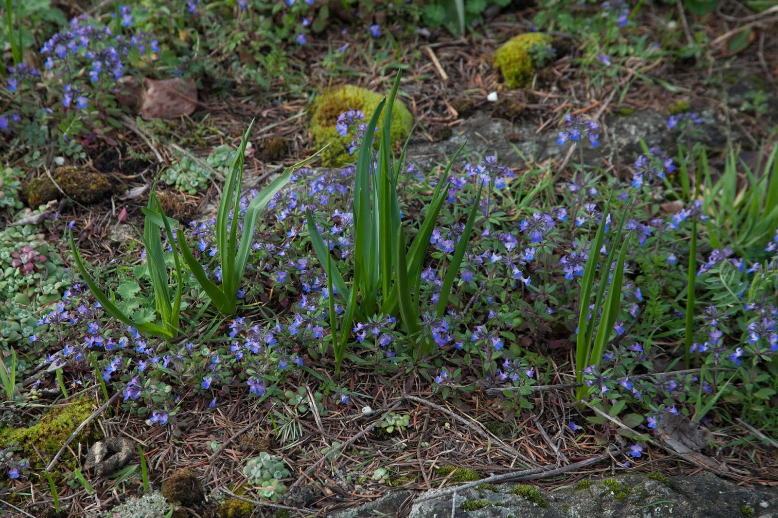 Blue-eyed Mary in a bed of camas.