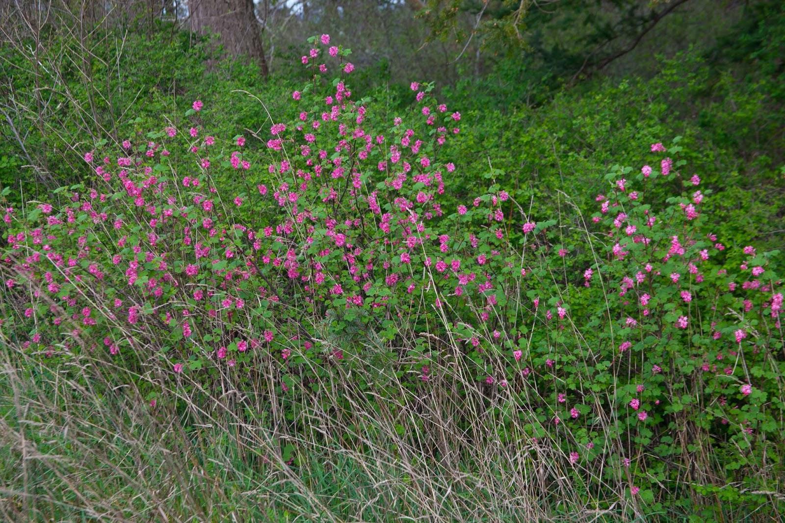 Red flowering currant this week.