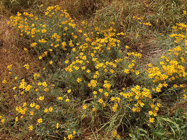 eriophyllum-1.jpg