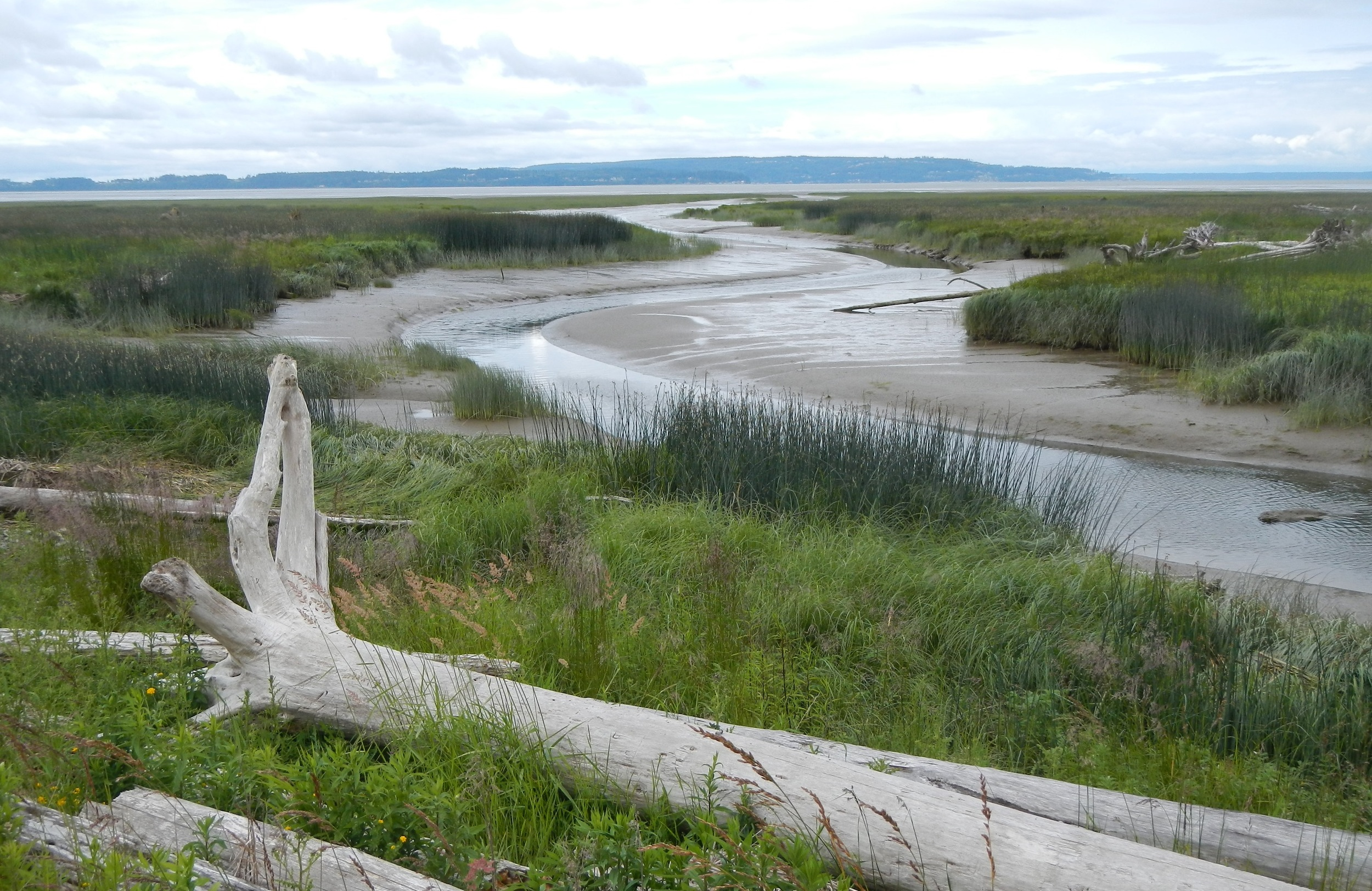 Future marsh will provide habitat for juvenile salmon and a rich diversity of other fish and wildlife. (photo by Jenny Baker, TNC)